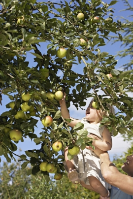 Father lifting daughter above head, girl picking apple from tree